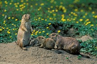 Black Tailed Prairie Dog , Cynomys ludovicianus , North America , Adult , Pair , couple with young at cave , at den