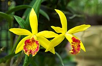 Yellow orchid of the Laelia genus in the Singapore Orchid Gardens.