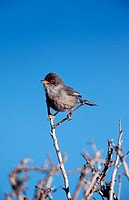 Balearic Warbler (Sylvia balearica)