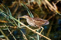 Little Bittern (Ixobrychus minutus) on stalk