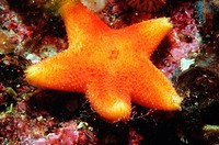 4 inch starfish photographed in British Columbia, Canada.  This is a coldwater star, Pteraster tesselatus, alternate name Slime Star