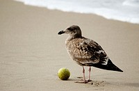 Sea Gull on Hermosa Beach with Tennis Ball