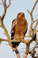 Tawny Eagle perched in Tree at sunrise