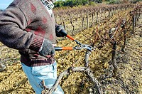 Pruning vineyards near Apt, Luberon region. Vaucluse, Provence, France