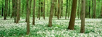 Forest in spring with ramsons. Saxony. Germany