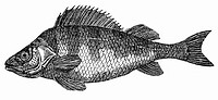 Perch (illustration)
