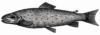 Trout (illustration)
