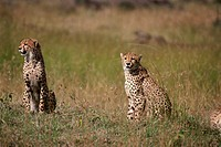 Two cheetahs sitting on a field (Acinonyx jubatus)