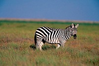 Side profile of a Burchell's Zebra on a field (Equus burchelli)