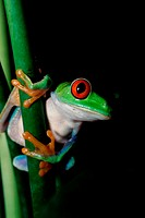 Close-up of a Red-eyed Tree Frog (Agalychnis callidryas)