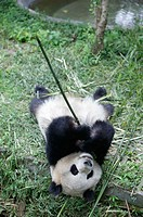 Giant Panda (Ailuropoda melanoleuca) at the Giant Panda Breeding Center of Chengdu. Sichuan, China