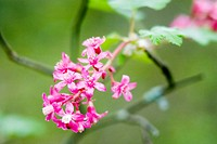 Red-flowering Currant (Ribes sanguineum) in Eaves Provincial Park. Vancouver Island, British Columbia, 7 April 2005