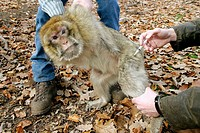 Barbary Macaque (Macaca sylvanus) being captured by veterinarians. Kintzheim, Alsace. France