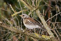 Fieldfare (Turdus pilaris). Alsace, France