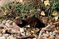 European Mink (Mustela lutreola)