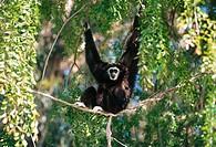 White-handed Gibbon (Hylobates lar). Oakland Zoo. CA. USA