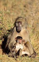 Chacma Baboon, Papio ursinus, mother and baby, Kruger National Park, South Africa
