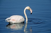 Greater Flamingo, Phoenicopterus ruber, Gauteng, South Africa