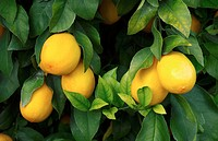 Closeup of lemons in the orchards of Anza Borrego, California, USA.