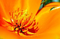 Center of a California Poppy