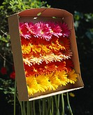 Different coloured gerberas in packaging