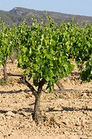 Vineyards in La Gornal, Alt Penedès. Barcelona province, Catalonia. Spain