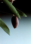 A Black Olive at the Branch