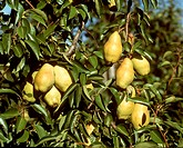 Williams´ Bon Chrétien pears on the tree
