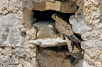 Kestrel (Falco tinnunculus), female in nest with prey. Málaga province, Andalusia, Spain