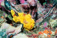 Warty frogfish (Antennarius maculates). Andaman Sea, Thailand. Indo-West Pacific
