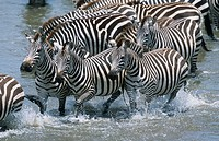 Common Zebras, Crossing the Mara River. (Equus quagga boehmi). Massai Mara N.P., Kenya.