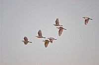 Cattle Egret (Bubulcus ibis). Flying group. Spain