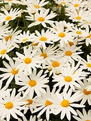 Cluster of white Daisies