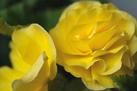 Close up of two yellow begonias