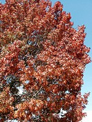 Fall colors, Oak tree