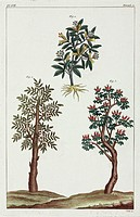 Hand-coloured engraving after a Chinese illustration. These plants are not identified as, according to the book they were published in, China was clos...