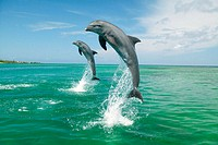 Bottlenose Dolphins (Tursiops truncatus) Caribbean Sea