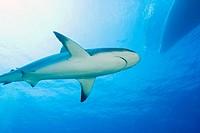 Caribbean Reef Sharks (Carcharhinus perezi) Northern Bahamas