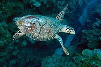 Hawksbill Turtle (Eretmochelys imbricata). Hol Chan Marine Reserve, Belize