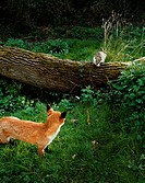 Fox following a rabbit in the forest
