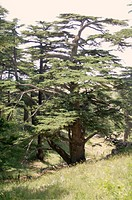 Cedar tree near the town of Ehden, Lebanon
