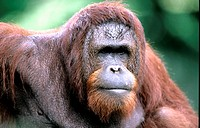 10241991, Orang Utan, portrait, zoo Singapore, monkey, animal, beast,