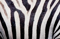 affectionate, Africa, animal, animals, Equus burchelli, Burchells Zebra, cuddling, Etosha, national park, kisses, Na