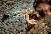 Porcelain anemone crab, Neopetrolisthes maculatus, molting, Dumaguete, Negros Island, Philippines