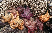 Ochre Seastars (Pisaster ochraceus) on rocky cliff, South of Cannon Beach. Northern Oregon coast, USA