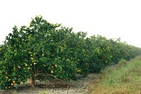 Citrus grove in Florida