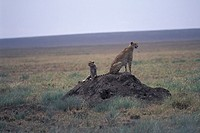 Cheetah and Cub, Serengeti Plains, Tanzania