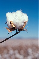 Cotton plant, close-up, Australia