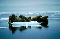 Atlantic Walruses (Odobenus rosmarus) frequently haul out in mixed pods consisting of males, females, and calves. Alexandra Fjord, Ellesmere Island, N...
