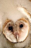 Barn owlet (Tyto alba) in nesting box along the Arkansas River near Geuda Springs, KS.
